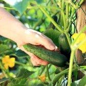Як підв'язувати огірки