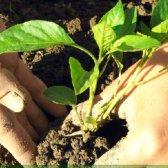 Як посадити болгарський перець