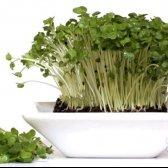 Як посадити крес салат