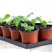 Як посадити пекінську капусту