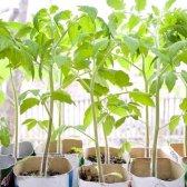 Як садити помідори