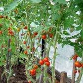Як виростити помідори черрі