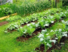 Як посадити кабачки