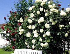 Як вірощуваті плетистую Троянду