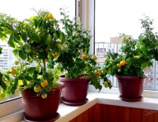 Як виростити помідори на балконі