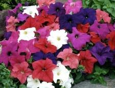 Які квіти садити розсадою